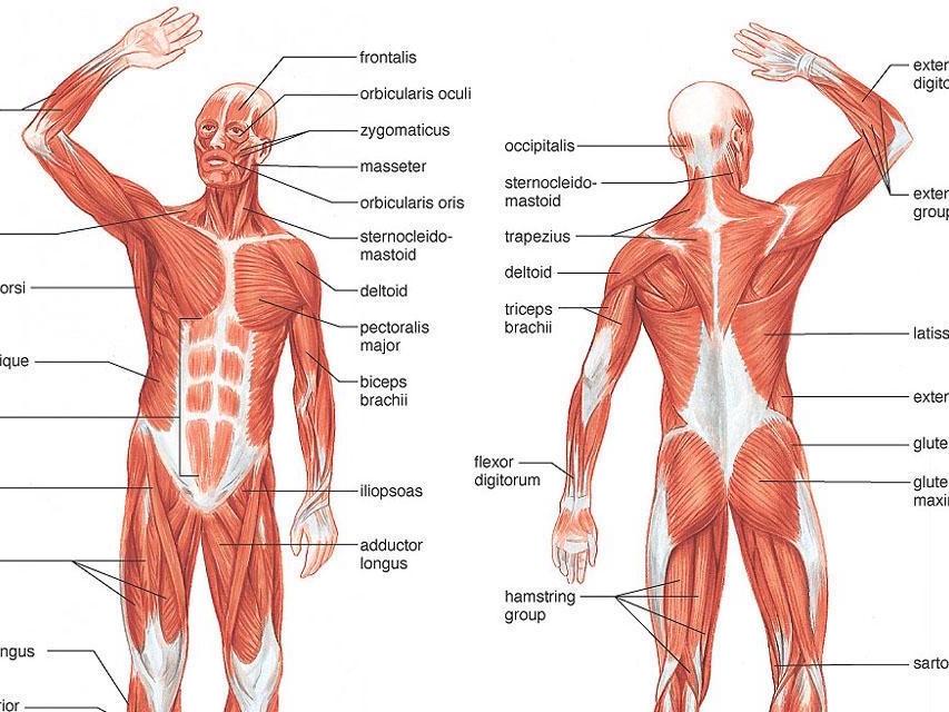 lavoro-muscoli
